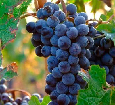 Wine Route Mallorca